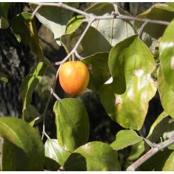 Ciruela India - Sobre 10 semillas