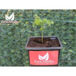 Carambola - Sobre 5 semillas