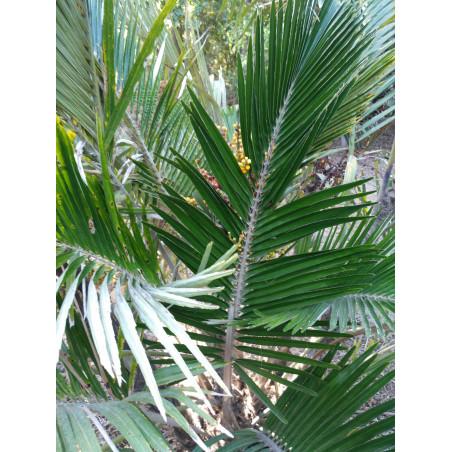 Palmera de Formosa - Sobre 5 semillas