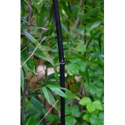 Bambú negro - Sobre 10 semillas