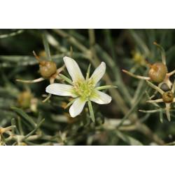 Ruda Siria - Sobre 25 semillas