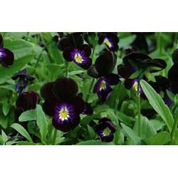 Pensamiento negro - Sobre 50 semillas