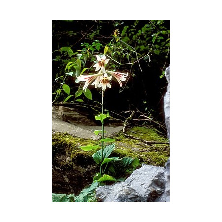 Lirio gigante del Himalaya - Sobre 10 semillas