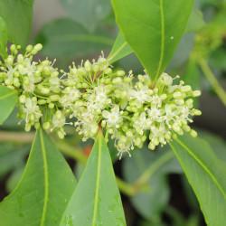 Yerba mate - Sobre 12 semillas