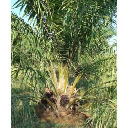 Palma de aceite - Sobre 2 semillas