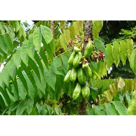 Averrhoa Bilimbi - Sobre 5 semillas