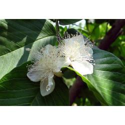 Guayaba - Sobre 10 semillas