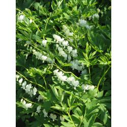 Flor del corazón 'Blanca' - Sobre 10 semillas