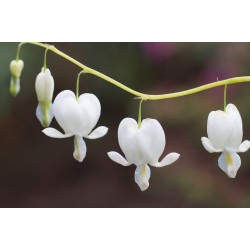 Flor del corazón 'Blanca' -...
