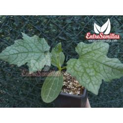 Luffa / Esponja vegetal