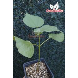 Algodón - Sobre 10 semillas