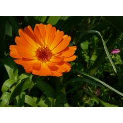 Caléndula - Sobre 20 semillas