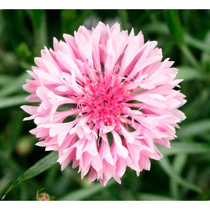 Azulejo rosa - Sobre 75 semillas