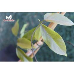 Jade - 1 planta