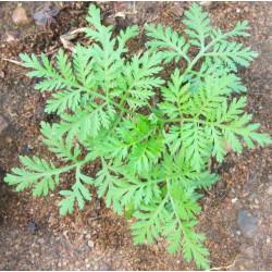 Artemisia annua - Sobre 200 semillas