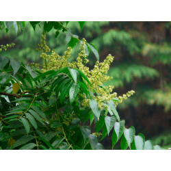Sapindus mukorossi planta