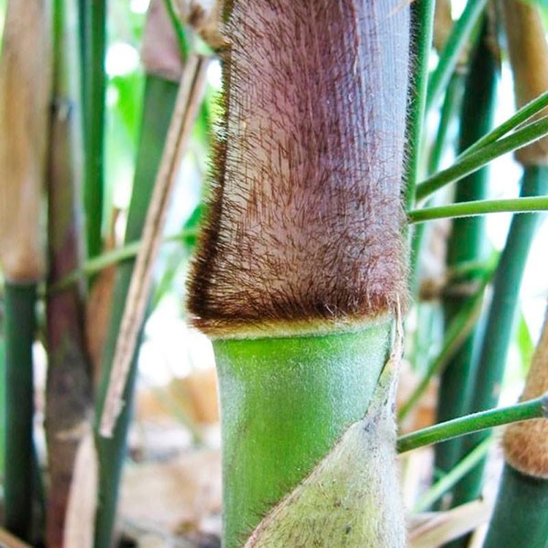 Bambú de hierro - planta
