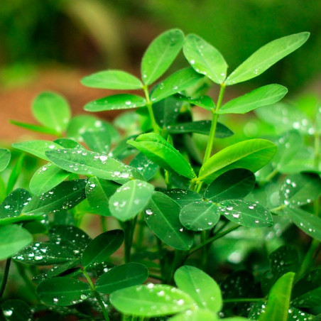 Cacahuete - 1 Planta