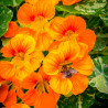 Capuchina 'Variegata' - Sobre 10 semillas