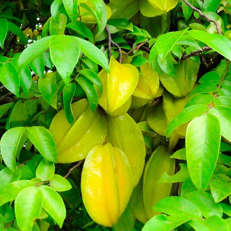 Carambola - planta