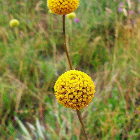 Craspedia globosa planta