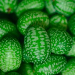 Melothria scabra Cucamelon planta