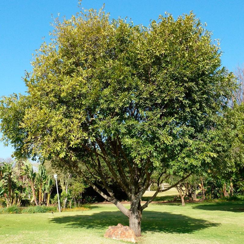 Ébano africano - planta