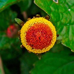 Flor eléctrica (Flor Roja) planta