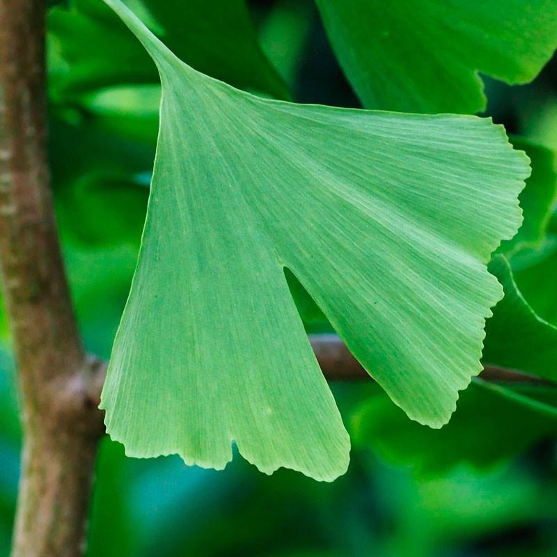 Ginkgo biloba planta