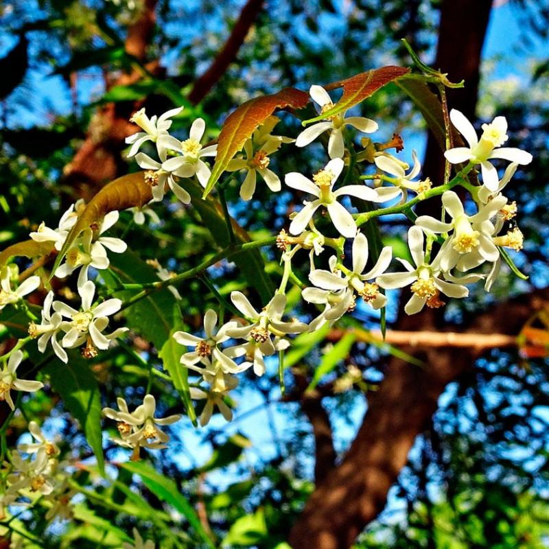 Árbol del Neem - 1 planta