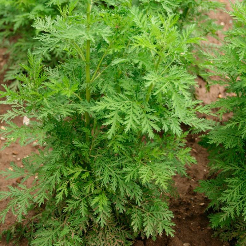 Artemisia annua - planta