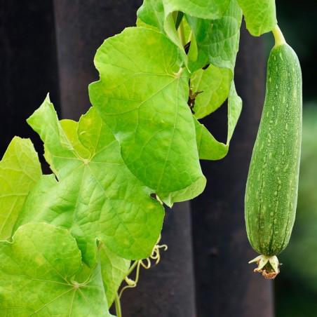 Luffa planta