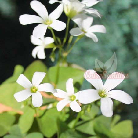 Oxalis regnelli planta