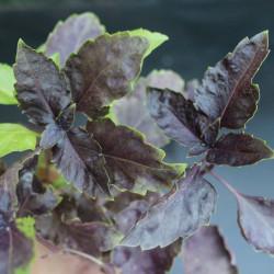 Albahaca Morada Rizada planta