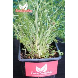 Milenrama - planta