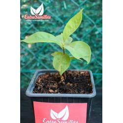 Diospyros lotus - planta