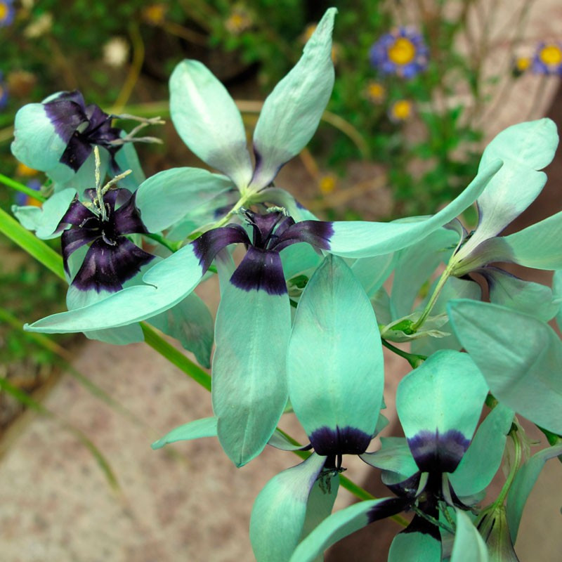 Ixia viridiflora semillas