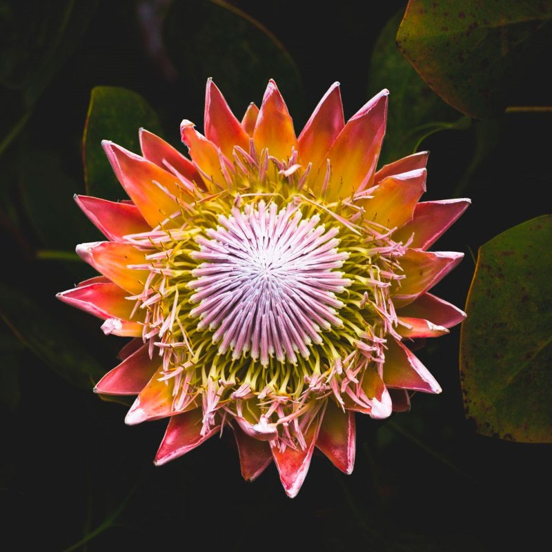 Protea cynaroides planta