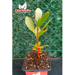Protea cynaroides planta real