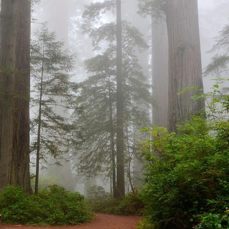 Sequoya gigante semillas