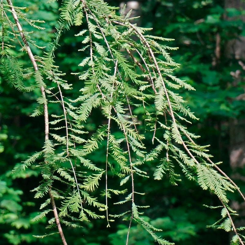 Metasequoia glyptostroboides semillas