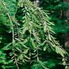 Metasecuoya - Sobre 25 semillas