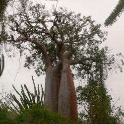 Baobab rubrostipa