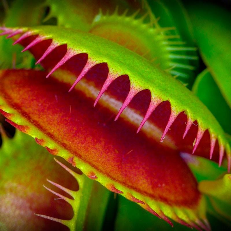 Venus atrapamoscas planta online