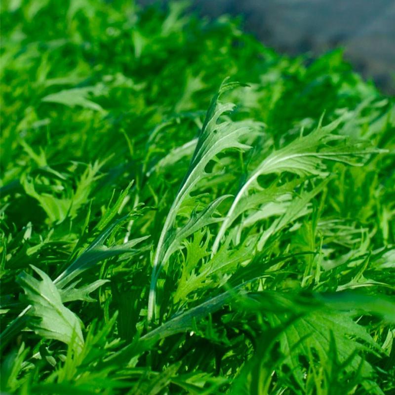 Mizuna comprar planta