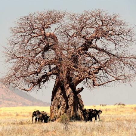 Baobab semillas online