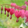 Flor del corazón - Sobre 10 semillas
