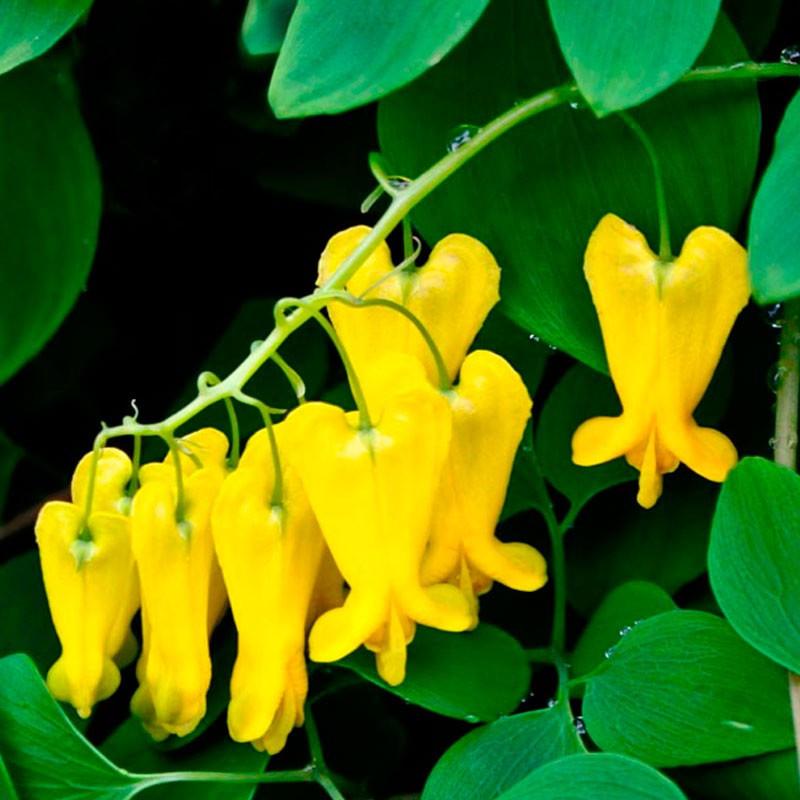 dactylicapnos dicentra amarilla