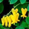 Flor del corazón 'Amarilla' - Sobre 20 semillas