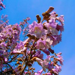 Paulownia tomentosa semillas